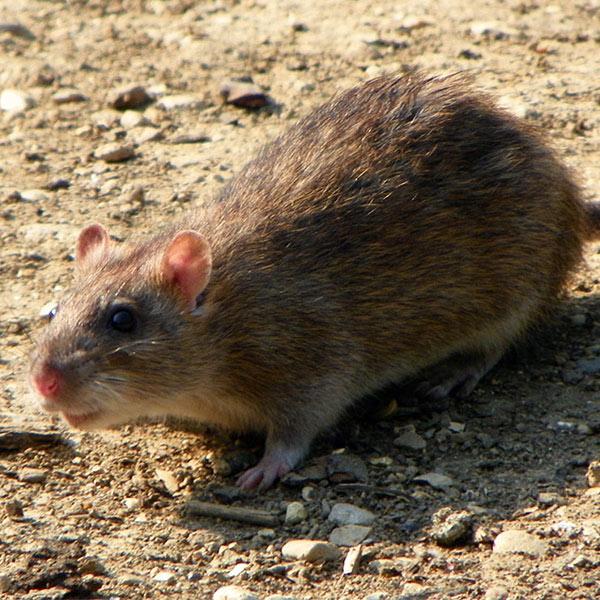 Rattus Νorvegicus